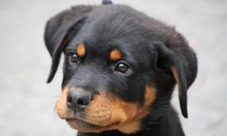 Beautiful Rottweiler puppies, the puppies are current on their vaccinations and veterinary comes with all necessary documents. They are pure Rottweiler puppies Champion line, which agrees with the kids and other pets. They are seeking approval to any