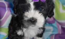 cute teddybear looking puppies for sale (shih tzu/poodle) de wormed and shoots up to date. 4 girls and 3 boys.