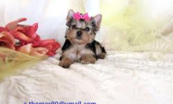 I am an absolutely precious little Yorkie girl.I am a super stunning little girl with pure beauty and wonderful loving happy personality. I am charting to be about 4 lbs full grown. I am a very smart little girl and you will enjoy having me around all the