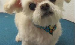 CRYSTAL, OUR 12YR OLD PEEKAPOO IS MISSING SINCE SEPT 24TH. SHE IS WHITE, WEARING A BANDANA WITH MULTI-COLORED FLOWERS. SHE IS ON SPECIAL MEDICATION AND FOOD. SHE IS THE QUEEN OF OUR HOUSE. PLEASE CALL 689-7402 OR 784-3360. THERE WILL BE A REWARD. WE JUST