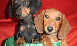 BEAUTIFULL GIRLS READY FOR THEIR NEW HOMES, POTY TRAINED, HOUSEBROKEN, AND BEEN GIVEN THEIR FIRST MULTIPLE SHOT, DEWORMED ASKING $475 EACH OR $700 FOR BOTH FEMALES MORE PICTURES AND DETAILS AT... 619-408-4214
