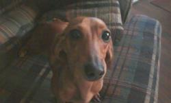 I have a red dachshund she is 11 months old she has had all her shots loving dog sweet her name is delila