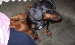 3 Dachshunds for sale, (too many dogs): 1-male, black and tan-2 yrs old, very quiet and gentle; 1-female-cinnamon shorthair, 2 yrs old-had puppies about 11 weeks ago, she is quiet-good lap dog; 1-longhair cinnamon puppy-11 weeks, very darling male.