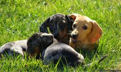 4 beautiful, healthy Dachshund puppies for sale. 11 weeks old, 1st shots, wormed, paper and create trained and ready for a new home. Both males and females available. 3 black/tan dapples with red faces and feet and 1 cream remaining. Please call