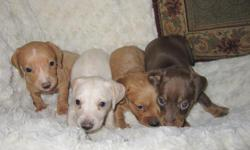 AKC Parents, Male & Female, - Red, Black/Tan, Black/Cream, Cream, Piebald, Blue/Tan, Brindles and Dapples. Short Hair and Long Hair. All come with 1 year health warranty, Shot record book and go home with at least two shots. My puppies are raised in my