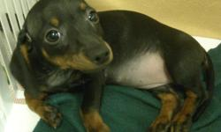 ACA registered female Dachshund puppy born 4/26/11. She is very playful and active. Has had all puppy shots and is micro-chipped. Likes to be held and cuddle. Is started on housebreaking. Price reduced, she needs a home. email nmpuppies@gmail.com for more