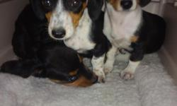 Three adorable 10 week old Dachshund Puppies available. Have two females and one male. Each Puppy already has their second set of shots. $300 each. Call Miguel @ 561-842-1918 http://s1188.photobucket.com/albums/z417/lucreziazule/