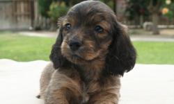 WE HAVE SOME BEAUTIFUL DACHSHUND PUPPIES RIGHT NOW PLEASE GO TO MY WEB SITE AT  www.aaapuppydogs.com   MALES & FEMALES, SMOOTH & LONG COATS. COME AND SEE......