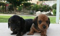 WE HAVE NEW DACHSHUNDS PUPPIES, MALE & FEMALE, SMOOTH & LONG COAT. PLEASE GO TO MY WEB SITE AT www.aaapuppydogs.com  . Or Call --