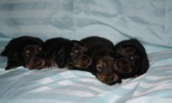 6 week Pure bred Dachshund puppies 2 girls and 2 boys, mother long haired red, father long haired black and cream. health guarantee. start on shots, house training, socializing, basic come training and Vet exam. Sold as PET only, will enclude