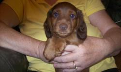 Beautiful cinnamon male Dachshund puppy-8 weeks old. 1st shots and wormed. Nampa-call-908-2186.