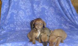CKC REG DACHSHUND/CHIHUAHUA PUPS. MOM IS A DACHSHUND DAD IS A CHIHUAHUA. THEY HAVE HAD FIRST SHOT AND DEWORMED. I HAVE 3 GIRLS AND 1 BOY. --