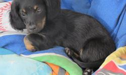 8 week old minuture black and tan short and long haired male and female dachsunds. males $200.00 and females $250.00