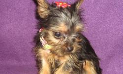 This is a small baby girl Yorkshire Terrier. Vet checked, 1st shots and health guaranteed. Dad is 4 lbs. and Mom is 6 lbs. but she is taking more after the Dad in size I think. She needs a home with no very small children please. Price is drastically less