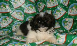 THESE are DARLING Little SHIH-TZU Puppies!!10 weeks old and they will be SMALL at5 to 9 pounds full grown. Parents on site. Daddy weighs 8 pounds (His daddy and grand daddy weigh 6 pounds!) Mama weighs 9 pounds. Puppies will have first shots,