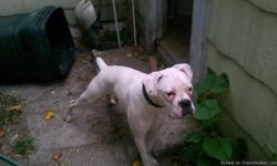 9 MONTH WHITE BOXER SHOTS UTD, GOOD WITH KIDS AND OTHER PETS