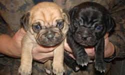 I am taking deposits on Puggle puppies. I have 1 black male, 1 black female, and 2 tan females available. They will be ready for new homes March 21st. They will receive 2 puppy shots and wormings. They will mature to around 20 to 25lbs. Please call