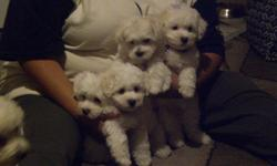 Beautiful small Maltichon Designer Dogs, 1 Male 2 Females left Gorgeous white fluff balls Born 12/22/10, Mother Pure Bichon Frise, Father Pure Maltese, babies current on shots & vet checked. Hurry dont miss out, our babies are to cute to pass up. They are