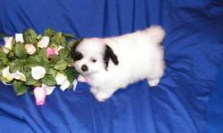 Beautiful Poo/Poms designer pups available. Born 06/12/11. 2 females, 1 male. Raised in my home, playful, and very loving personalities. Current on vaccines and dewormings. 1 year Health Guarantee. Visit my website to see all available pups.