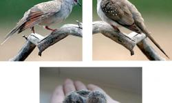 Australia's smallest doves 'coo-ooo' throughout the day. These are 2010 hatches and are very active and peaceful to have in your home. These are all brother/sister so we cannot sell you a pair. We looked for a couple years to find these and we bought two