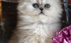 This MAGNETIC Chinchilla Silver Persian Boy can enter your life like a HEAVENLY PAINTING that comes alive. CFA papers, dewormed, shots up to date, vet exams & a perfectly good pedigree as a bonus. Price is $1500 - Reasonable offers accepted. ()--.