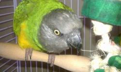 "Female Senegal handfed myself since she was a baby. Age 3 this month. Can be a breeder or a pet. Prefers females over males. My husband can hold her, not my 15 and 18 year old son. She is quiet, says her name which is ""Baby Zea"". She will be $300. No cage"