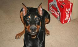 8 month old (as of 16 April) Black and Tan Doberman for Sale. Price is negotiable. Comes with Travel Kennel and Dog House. We are starting to travel a lot and boarding is too expensive.