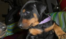Christmas Puppies 2 Black &rust Males ,2 Red & Rust Females!