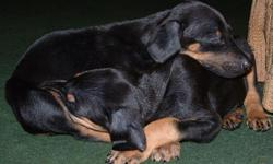 Purebred Doberman Pinscher Puppies, NO Papers, Parents AKC, Mother Blue & Father White, 6 Reds & 3 Black & Tans, ONLY 1 Female Black & Tan, Dews & Tails done, Born on Christmas, Ready Now! 330 524-7010