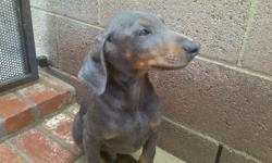 Doberman Pinscher Puppies, ***PUREBRED PUPPIES*** I have a Blue male for 600.00 FIRM. Black And Reds for 500.00 each FIRM, Top Quality Puppies Sold as Pets (No Papers), I am Located in Van Nuys, Ca 91405, Delivery is available at an additional cost, For