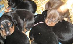 Beautiful AKC Doberman Pinscher puppies for Sale! The mother weighs in at 70 lbs and has a great temperament. The sire weighs in at 105. There were 11 in the litter. There are 2 girls (one black/Rust the other red/rust) and two boys left (both black/rust