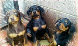 Doberman Pinscher Puppies, Shots, Dewormed, Tails Docked, 600.00 each FIRM, Sold as pets (No Papers) For more info please call 818-675-1080, Serious inquires Only please. We are located in Van Nuys, Ca 91405, With 15 years breeding experience, Delivery is