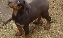 Doberman Pinscher Puppies, Shots, Dewormed, Tails Docked, 500 each, Sold as Pets, Credit Cards OK, We are Located in Los Angeles, CA, Delivery is Available at an additional Cost, Serious Buyers ONLY --, Hablo Espanol