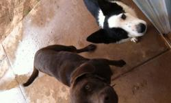 2 years old Male fixed king choclate lab. 8 month Female border collie not fixed