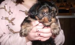 Cude Adorable little male Dorkie( Dachshound,Yorkie mix). Will be 8 weeks old 12-21-12. Mom is 9 lbs ,dad is 7lbs.Black and tan fluff ball.Rady to find new home.This little guys waiting to make your x-mas very special.Located in x-mas Valley,OR please