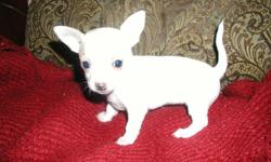 Double Registered T-Cup Chihuahuas 2 White males in Color. 2 Light Fawn males, will be ready to be placed with new family. Healthy, Worm and Parasite free. 1st Vac to be given. Bag of puppy chow. Contact Debra