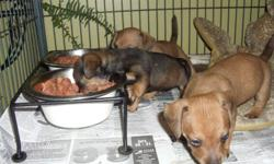 They are 8 weeks old and cute as can be.They are very sweet and cuddly.They have first set of shots and deworming.Second set is available if you need it.They are going to be minis.There is 2 brown males and 1 black and tan female.