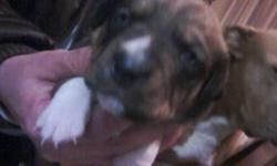 6 puppies born on 2/24/11 they need good homes we r trying to save them from going to the pound they will be ready to go to new homes on April 21! please call if u are interested 253-341-8401 or 509-308-6508 momma dog needs a home to sad to let her go but