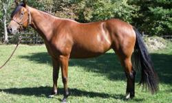Dream Mare Quarter horse for adoption,Temperament 4 (1=Bombproof ) understands a little whistling, Good to be ridden by kids and beginner riders and can be a good horse for a wiered rider as is an all rounder . 6 years old, good for