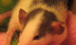 Please go to my site and at least look at the pictures of the cutest rats you will ever see! Dumbo rats ears are placed on the side of their heads instead of the top and to me, their personalities are more like kittens than rats or other rodents you may