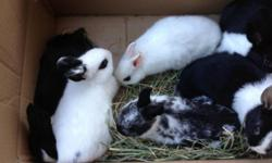 I have three types of baby bunnies Holland Dutch Netherland dwarf Hoto And mixed.