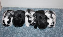 Purebred dwarf bunnies. Friendly and home raised. Will be 2 - 3 pounds when full grown. We have litters now (broken chocolates, broken blacks and solid blacks), which will be ready in May, and are expecting other spring litters.