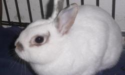 """""""Snowflake"""" is a rescued rabbit that I have had spayed and she is now ready for her forever home. She was given up by a previous family, but certainly not due to her behavior! She is a sweety. Easy to handle, and she is pretty good at the litter box too."""