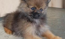 Just in time for Christmas, I have 5 pomeranian puppies available for sale. Born in August of 2012. 4 males and 1 female. All puppies have been raised in my home with my family and myself, they've never been kept outside in kennels. They are very