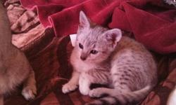 Stunning Silver, Elegant smoke Egyptian Mau kittens ready now! http://www.TouchOKatz.webs.com