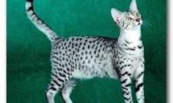 I will have two litters of Egyptian Mau kittens in February. If interested e-mail or call www.soldierfireranch.com lwybrant@hotmail.com