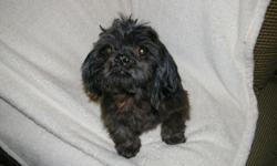 Down sizing my kennel and re-homing this beautiful Black with chocolate tint coloring 6 year old male CKC Shih Tzu. DOB May 30, 2006. He is a great breeder if you have a female who is looking for a mate. He makes the most beautiful puppies and he know how