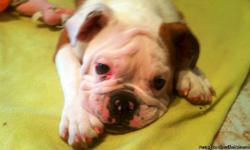MILKSHAKE ENGLISH BULLDOG FOR SALE ALL EXTRAS INCLUDED: CAGE, FOOD AND TOYS ASKING $2000 STRONG, HEALTHY AND ADORABLE ALL SHOTS UP TO DATE AND SPAYED ONLY 10 MONTHS OLD SERIOUS CALLERS ONLY