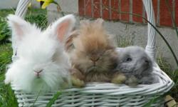 Visit http://angora-galora.weebly.com/index.html for current available rabbits, prices, details, and a contact form.