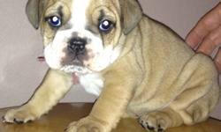 I have 6 English Bulldogs ready on Nov. 1st They are chipped, Shots and registered. If you would like to look at them or have me send you more pictures or just want to know more about them Please call -- Thanks Brenda